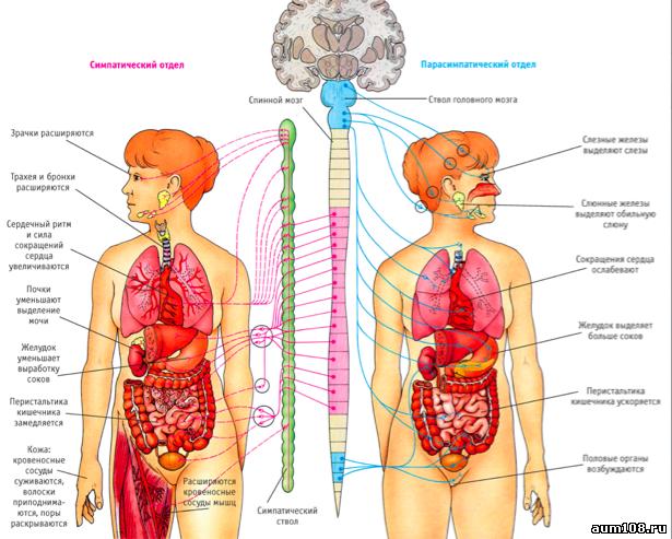 Вегетативная система или зачем нам расслабляться